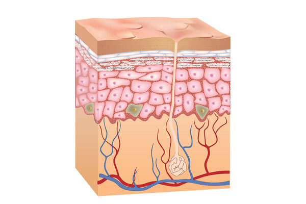 Structure of the skin and its protective mechanisms